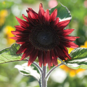 ProCut® Red Tall Sunflowers