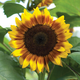 ProCut Bicolor Tall, Single Stem Sunflowers