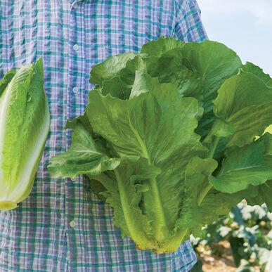 Sparx Romaine Lettuce (Cos)