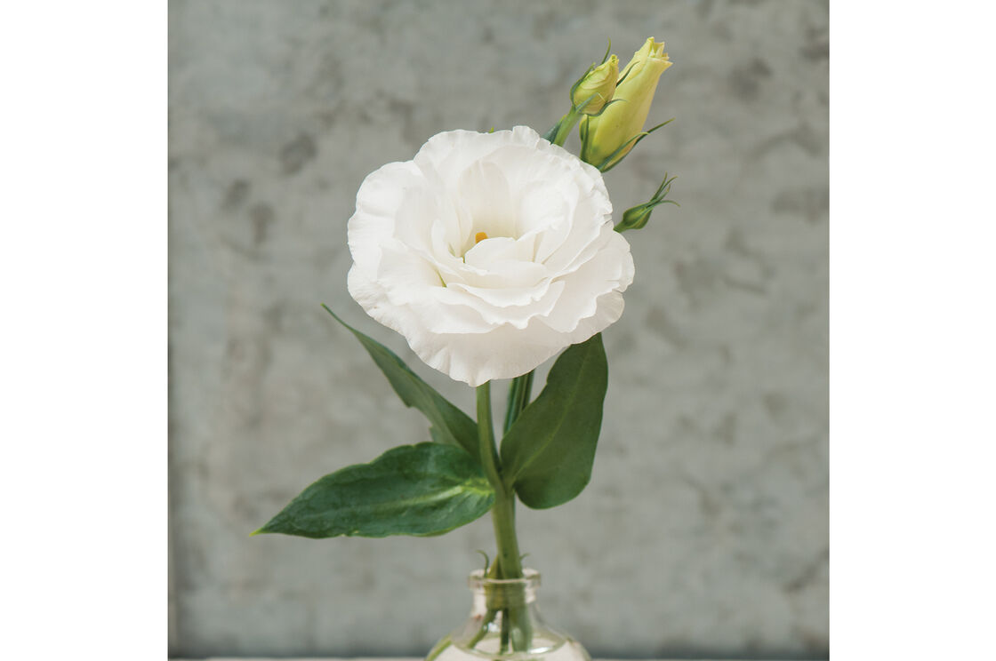 Mariachi Pure White Pelleted Lisianthus Johnnys Selected Seeds