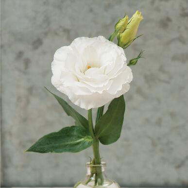 Mariachi Pure White
