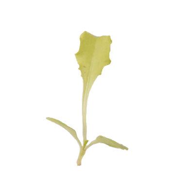 Chicory, Bianca Riccia Microgreen Vegetables
