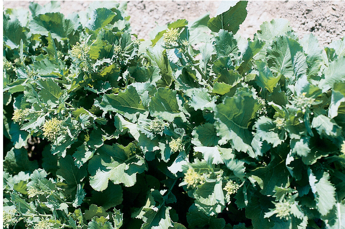 Sessantina Grossa Broccoli Seed Johnnys Selected Seeds