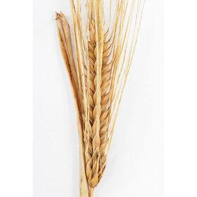 大麦(顶峰)大麦