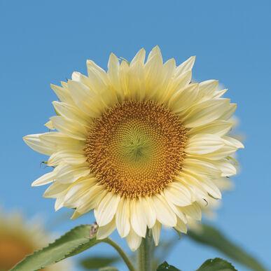 ProCut® White Lite Tall Sunflowers