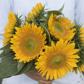 Sunrich Gold Tall, Single Stem Sunflowers