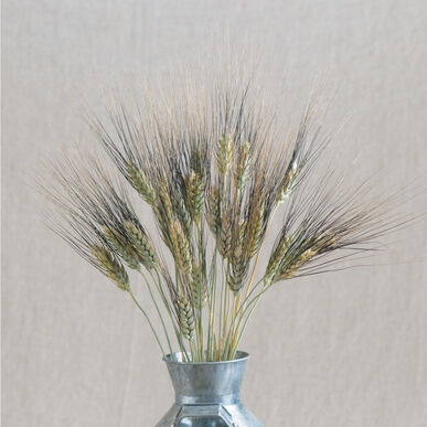 Black tip wheat ornamental grass seed johnny 39 s for Ornamental grass that looks like wheat
