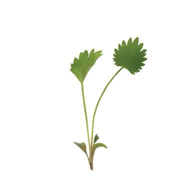 Anise Slow Growing Varieties