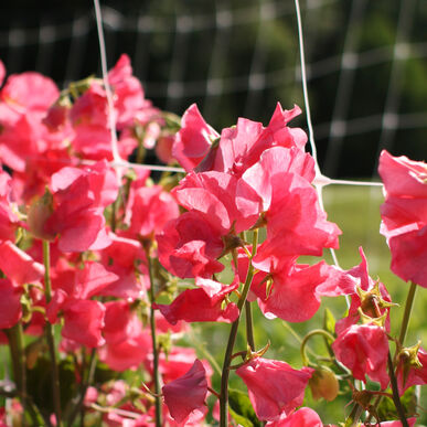 Elegance Watermelon Sweet Peas