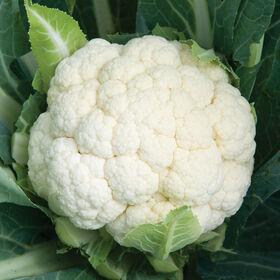 天行者标准花椰菜