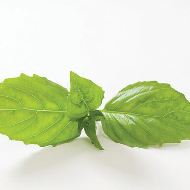 Italian Large Leaf