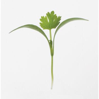 Cilantro Slow Growing Varieties