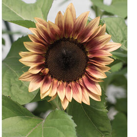 ProCut Plum Tall, Single Stem Sunflowers