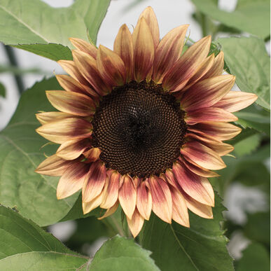 ProCut® Plum Tall Sunflowers