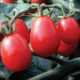 奇基塔葡萄西红柿