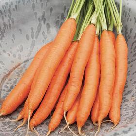 浪漫主要作物胡萝卜