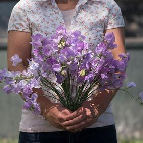 Elegance Lavender Sweet Peas