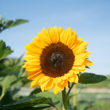 ProCut® Orange Excel Tall Sunflowers