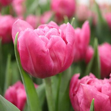 Dior Tulips