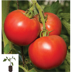 Tomimaru Muchoo/Estamino Grafted Grafted Tomato Plants
