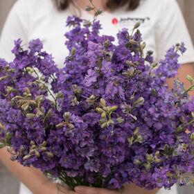 加利利淡紫色燕草属植物