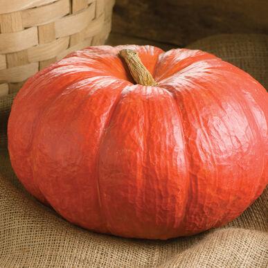 Rouge Vif D'Etampes Specialty Pumpkins