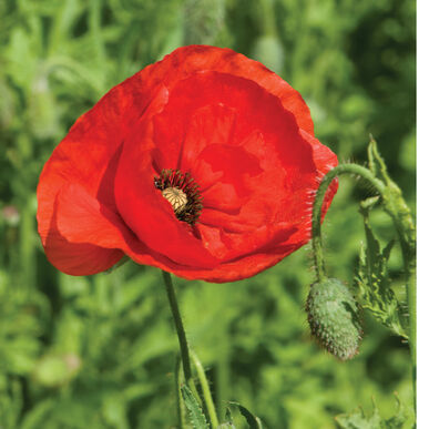 Corn poppy seed johnnys selected seeds corn poppy mightylinksfo Image collections