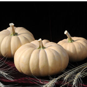 Autumn Crown Specialty Pumpkins