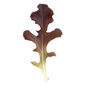 Garrison Oakleaf Lettuce