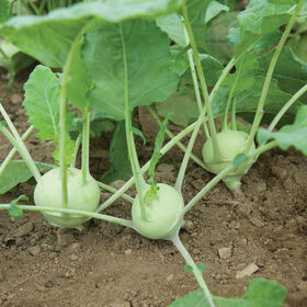Quickstar Fresh Eating Kohlrabi