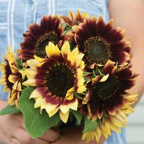 Florenza Tall, Branching Sunflowers