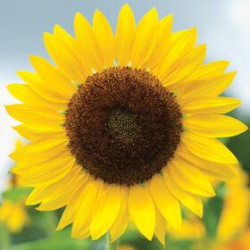 Full Sun Improved Tall, Single Stem Sunflowers