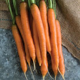 俄克拉默早期胡萝卜