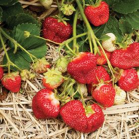 AC谷日落草莓裸根植物