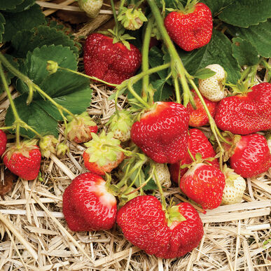 AC Valley Sunset Strawberry Bare-Root Plants