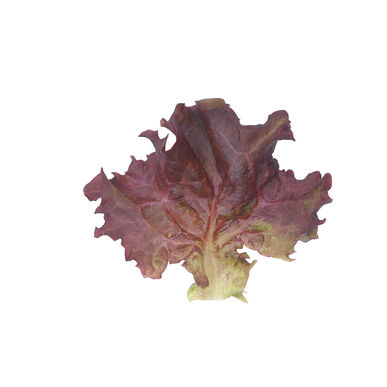 Dark Red Lollo Rossa Lollo Lettuce