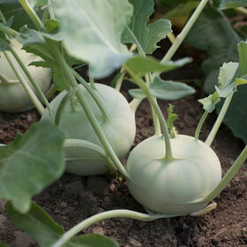 Terek Fresh Eating Kohlrabi