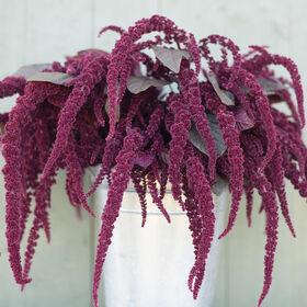 Hopi Red Dye Amaranthus