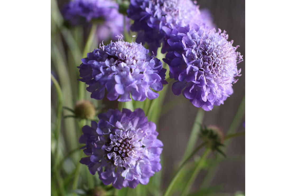 Oxford Blue Scabiosa Seed Johnnys Selected Seeds