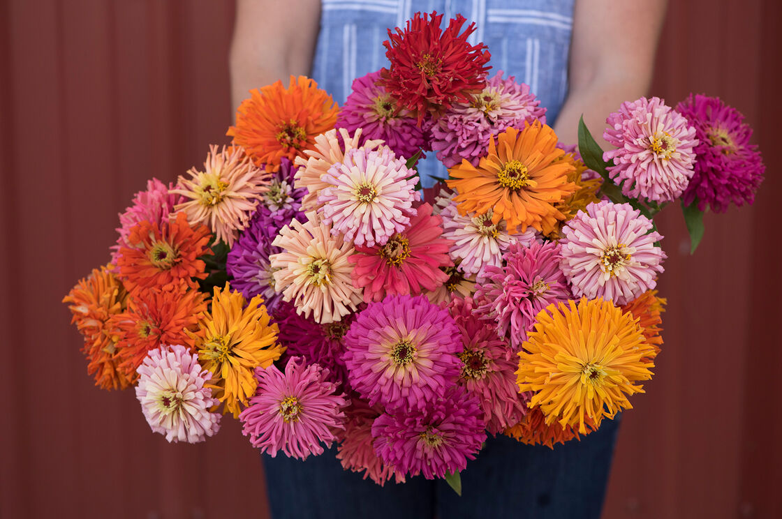 Cactus Flowered Mix - Zinnia Seed | Johnny\'s Selected Seeds
