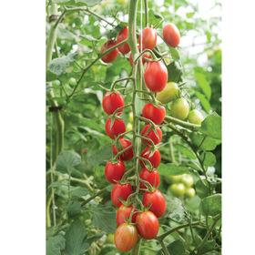 罗吉塔葡萄番茄