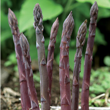 Image result for purple asparagus