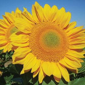 ProCut Gold Tall, Single Stem Sunflowers