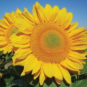 金高向日葵