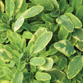 Icterina Sage