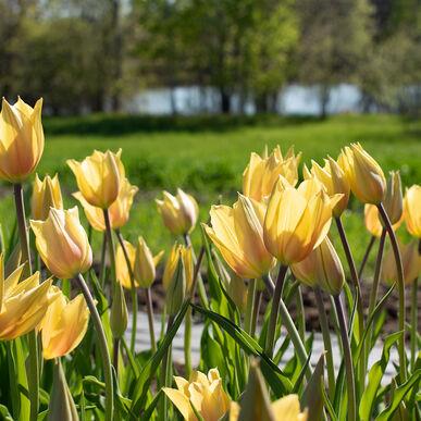 Blushing Beauty Tulips