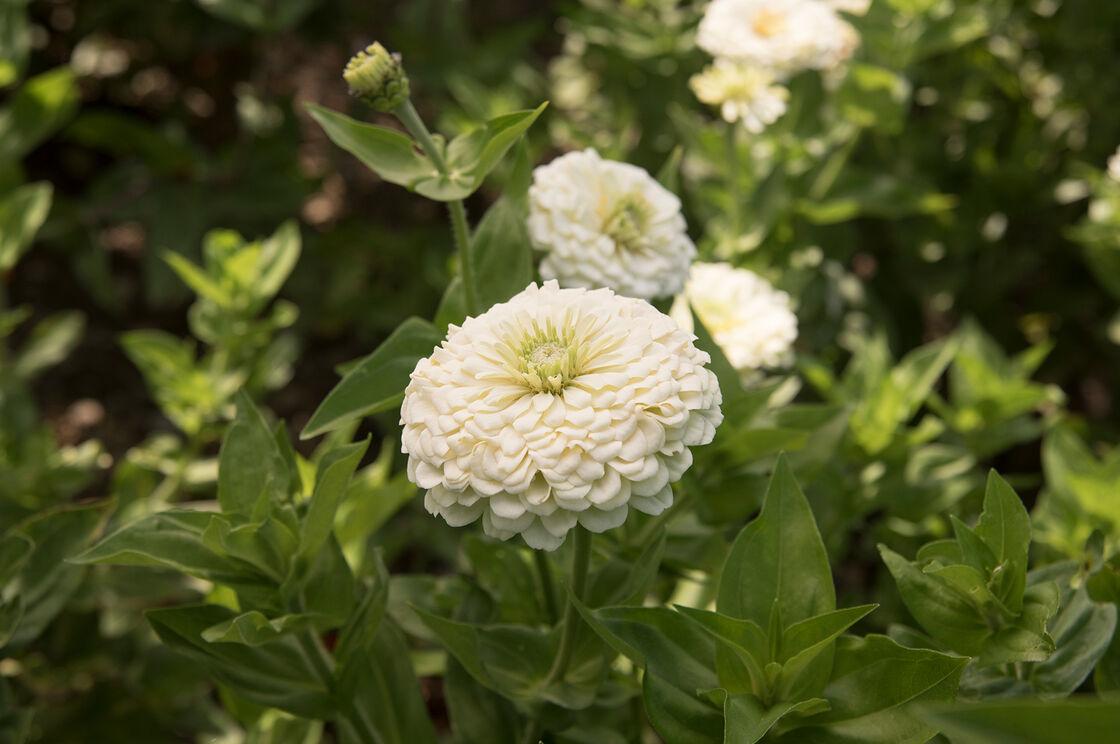 Benarys giant white zinnia seed johnnys selected seeds benarys giant white tall zinnias mightylinksfo
