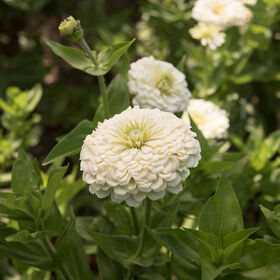 Benary's Giant White Tall Zinnias