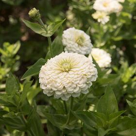 Tall zinnia seeds johnnys selected seeds benarys giant white mightylinksfo Gallery