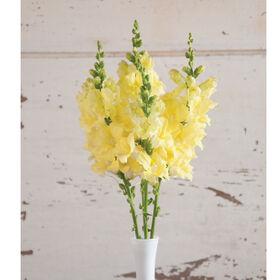 Chantilly Cream Yellow